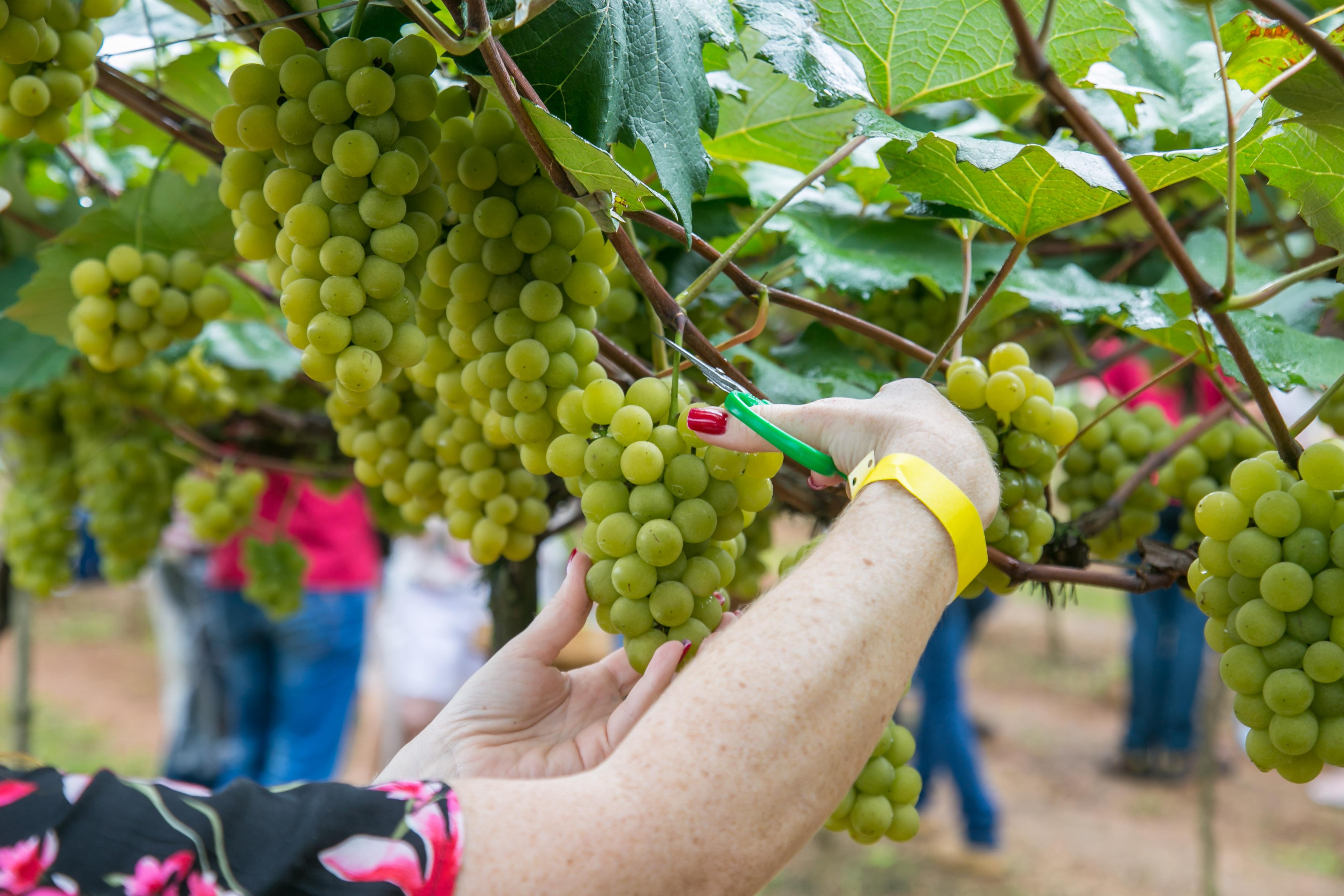 A experiência transformadora de participar da colheita de uva