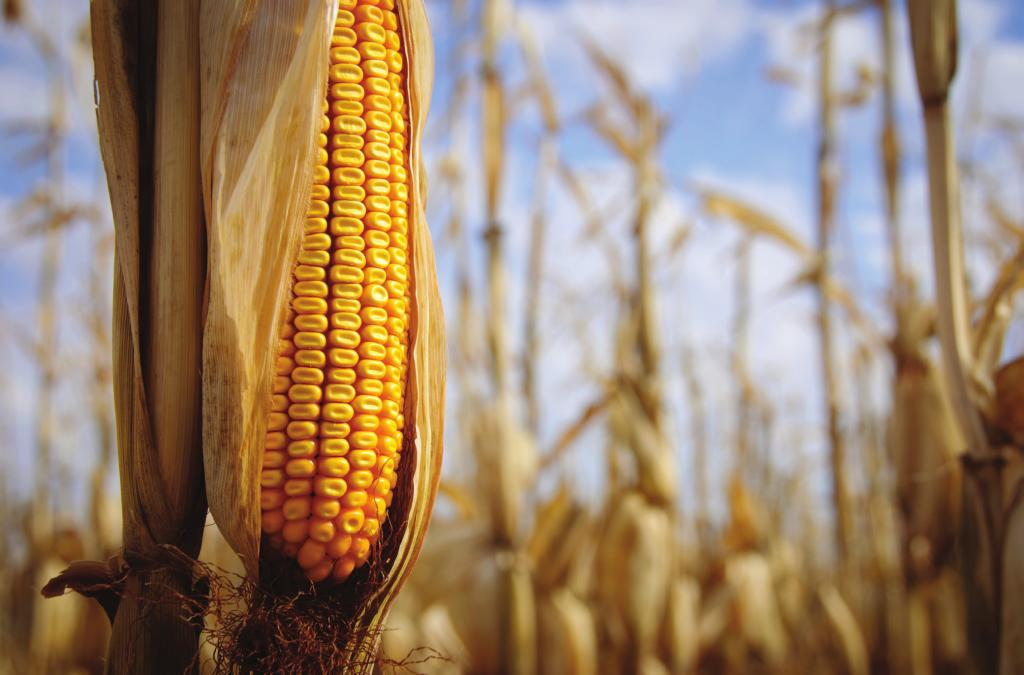 DO LABORATÓRIO PARA O CAMPO O milho é o segundo produto agrícola mais cultivado por transgenia em todo o mundo. Perde apenas para a soja