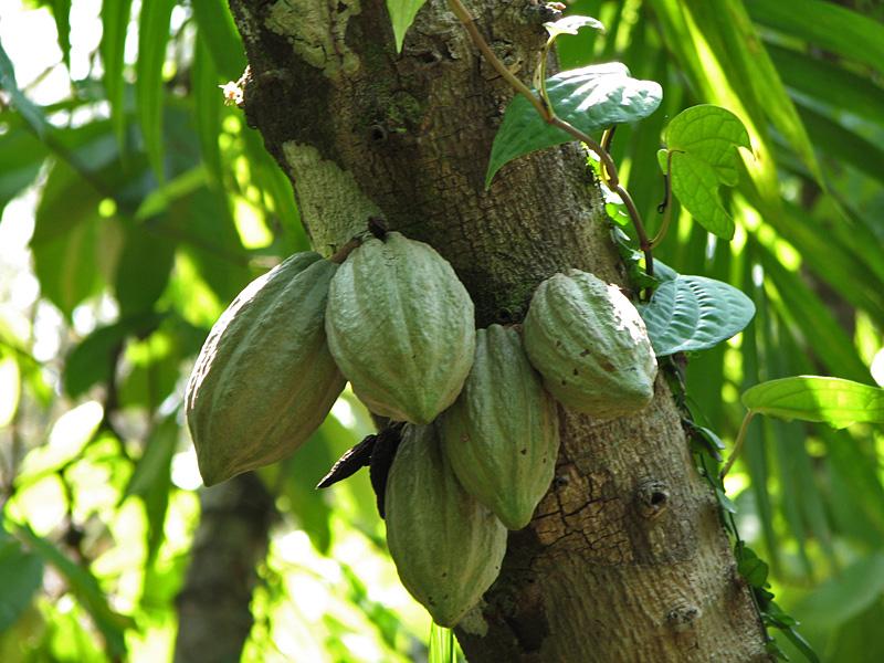 Mais de 70% do cacau usado para produzir chocolates no mundo vem da África (foto: sxc.hu)