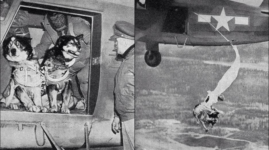 Cães paraquedistas de resgate sendo treinados pelo exército norte-americano em 1944 (foto: tumblr/peerintothepast)